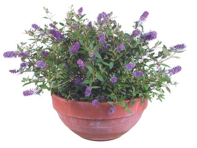 'Blue Chip' butterfly bush from Proven Winners