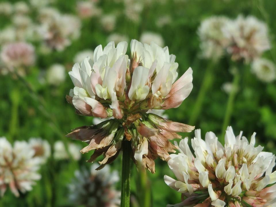 Adding Dutch white clover (Trifolium repens) seed ensures the lawn will stay green during summer droughts (Photo by Pixabay)