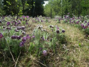 Prairie crocuses bloom on a hillside at the Devonian Botanic Garden.
