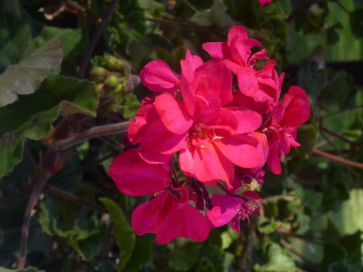 This one was taken with a sheet of white paper used to bounce light onto the shadows of the petals of the geranium.