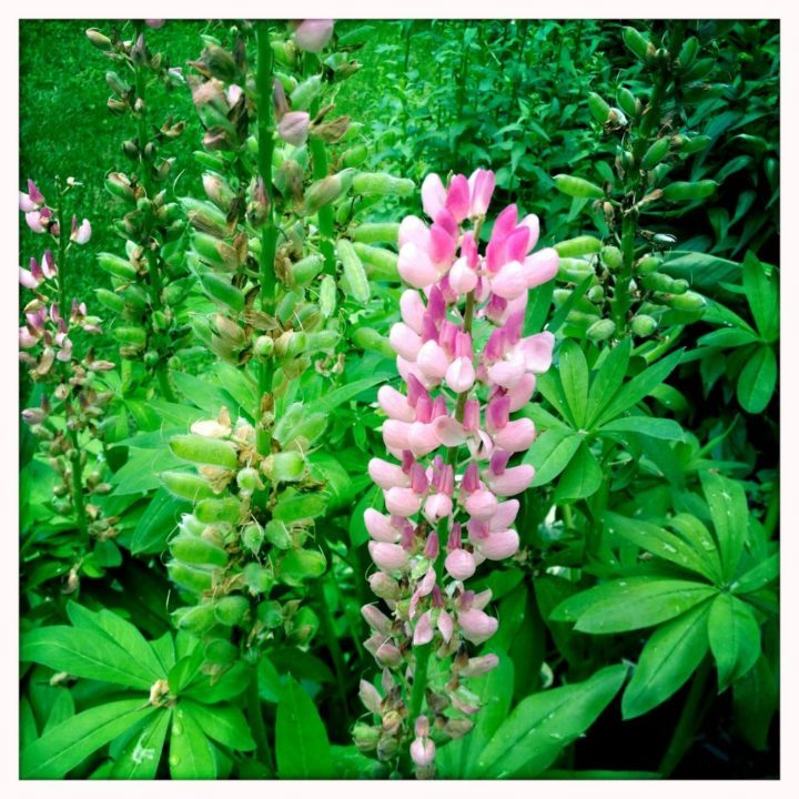 Lupines like acidic soil and lots of drainage, so heavy clay soil just won't do. These lupines are happily growing in hard-packed gravel.