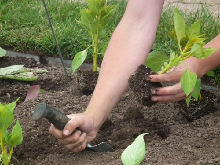 Students learn how to plant annuals efficiently with a trowel and one stroke.