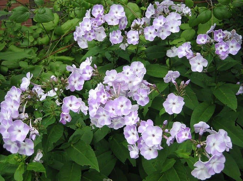'Katherine' phlox (Photo by Garden Making)