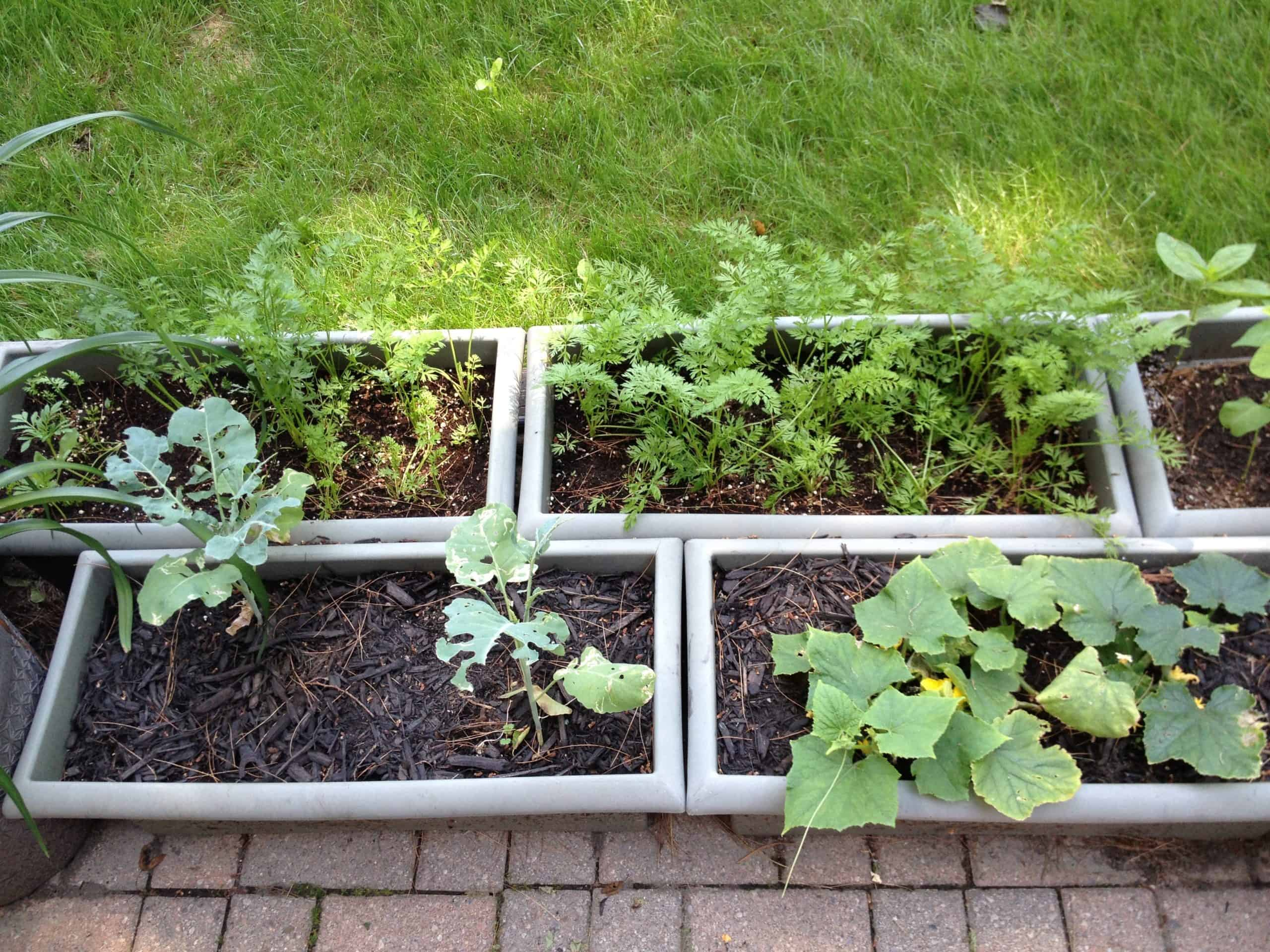 Big, deep window boxes hold 'Romeo' and 'Babette' baby carrots, cucumbers, broccoli, zinnias and edamame.