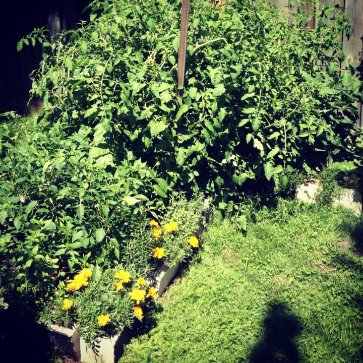 """The tomato cages and stakes just didn't cut it, and now a big wooden stick is trying to hold mo monster tomatoes back from the peppers in front. Marigolds and sage are hiding in the cinder blocks under my tomato monster, and I think they'll have to accept that their """"time in the sun"""" has passed. That corner will never see sun again."""