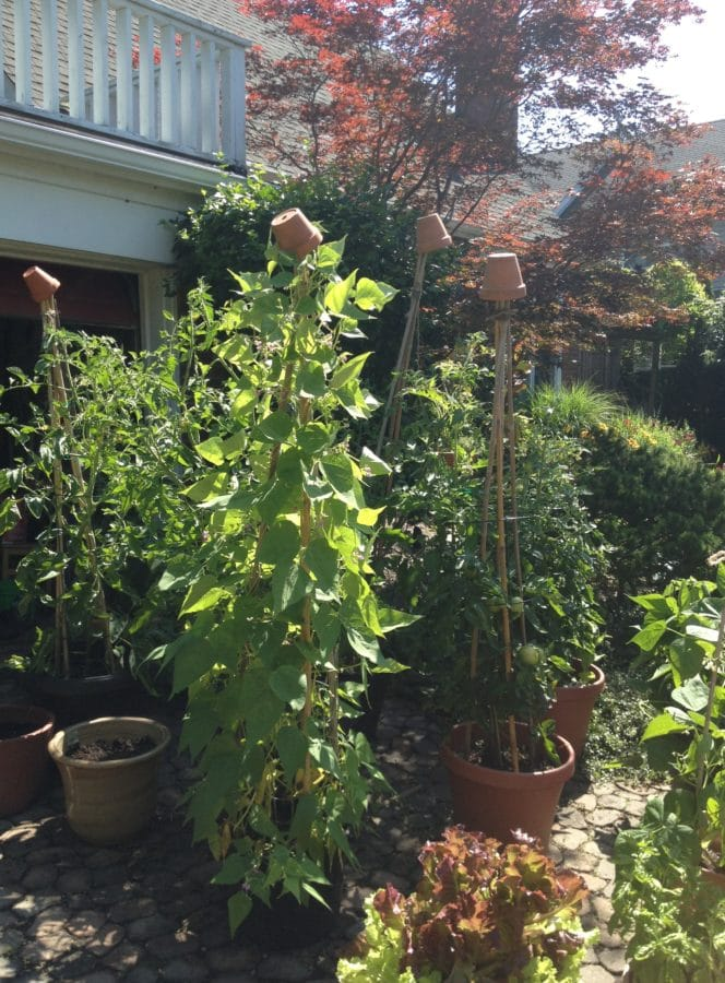 Liz grows tomatoes, beans and lettuce in pots on her front driveway, where there is lots of sun and heat reflected from the concrete. The little terracotta pots on top of the bamboo stakes are decorative, and help keep the containers looking good to passersby on the road.