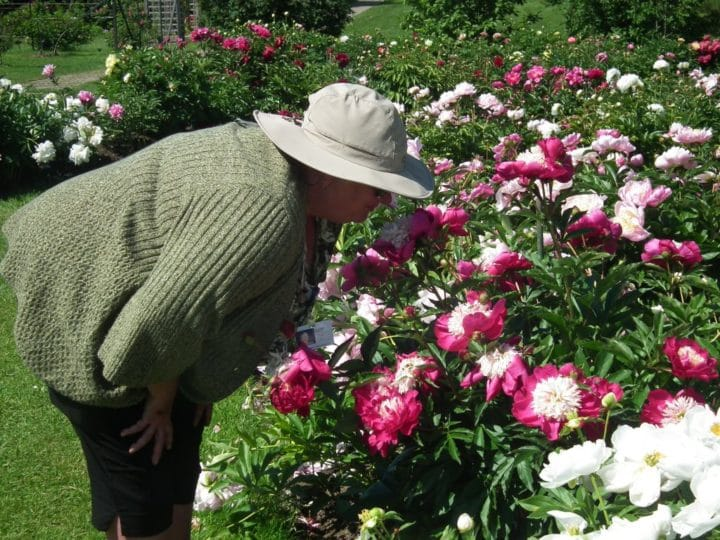 Lead gardener Sharon Saunders takes a break from her busy day to admire the peony beds.