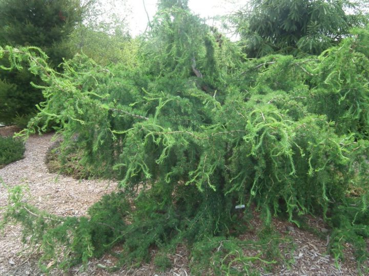 'Diana' weeping larch is one of the unusual conifers on display.