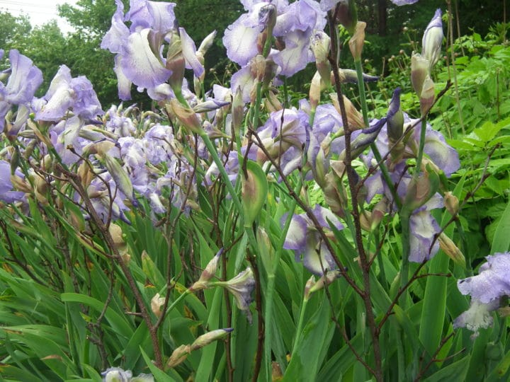 Alder twigs support the tall bearded irises.