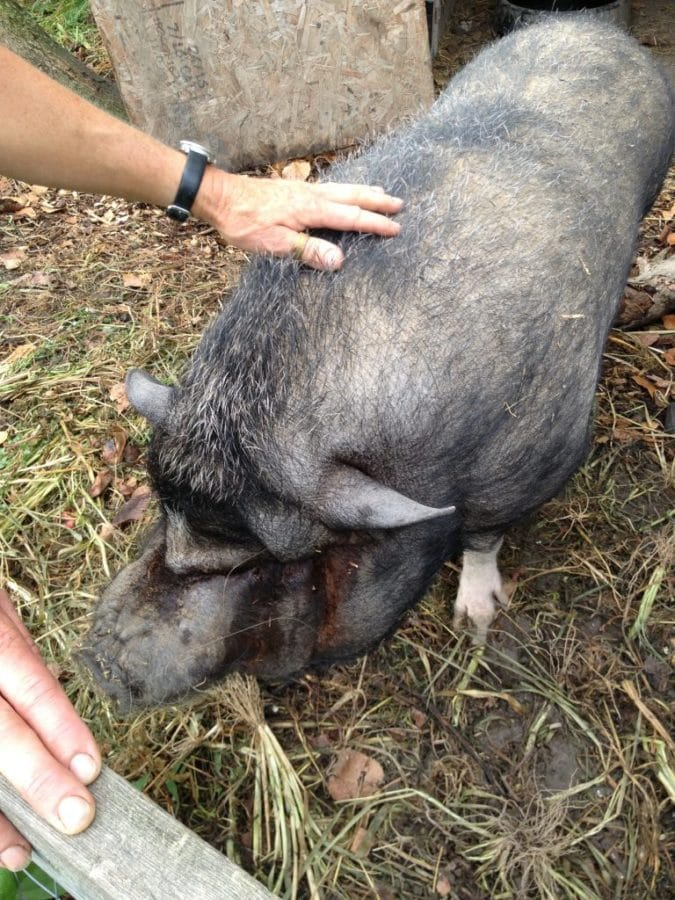Joey, a rescue pig, was a highlight for me. He's on a diet, but lucky to be on a farm like Tree and Twig, since his version of a diet includes homegrown apples and greens.