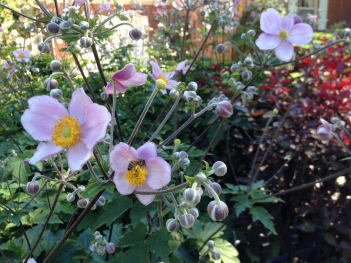 A happy bee on a Japanese anemone.