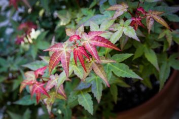 Dwarf Japanese maple (Acer palmatum 'Beni-hime') growing in a container. (Photo by Brendan Adam-Zwelling)