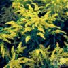 Golden Baby goldenrod (Photo from Heritage Perennials)