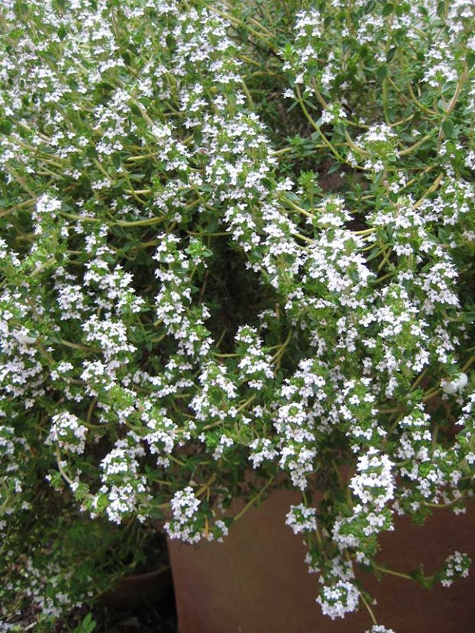 Thyme blossoms (Photo by Carol Pope)