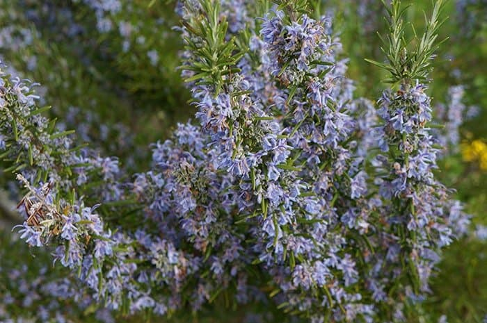 Rosemary in bloom (Photo by Carol Pope)