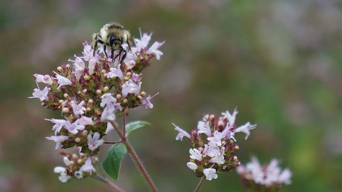 Bee on blooming oregano (Photo by Carol Pope)