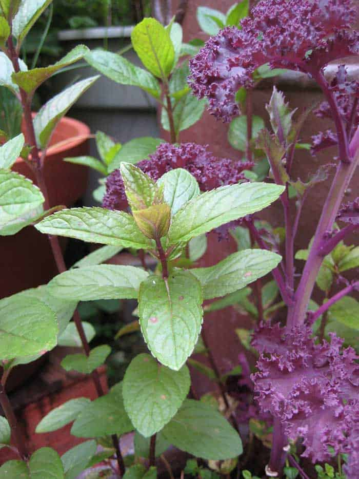 Mint and 'Redbor' kale (Photo by Carol Pope)