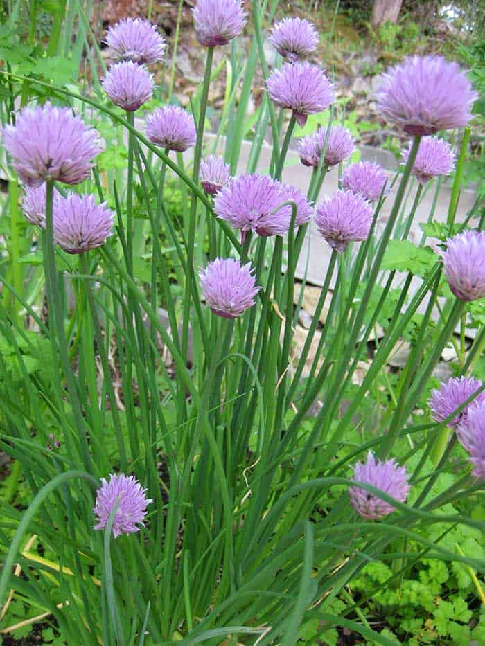 Chive blossoms (Photo by Carol Pope)