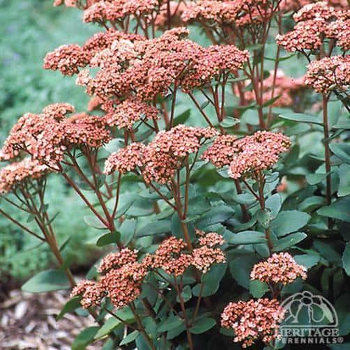 'Matrona' sedum (Photo from Perennials.com)