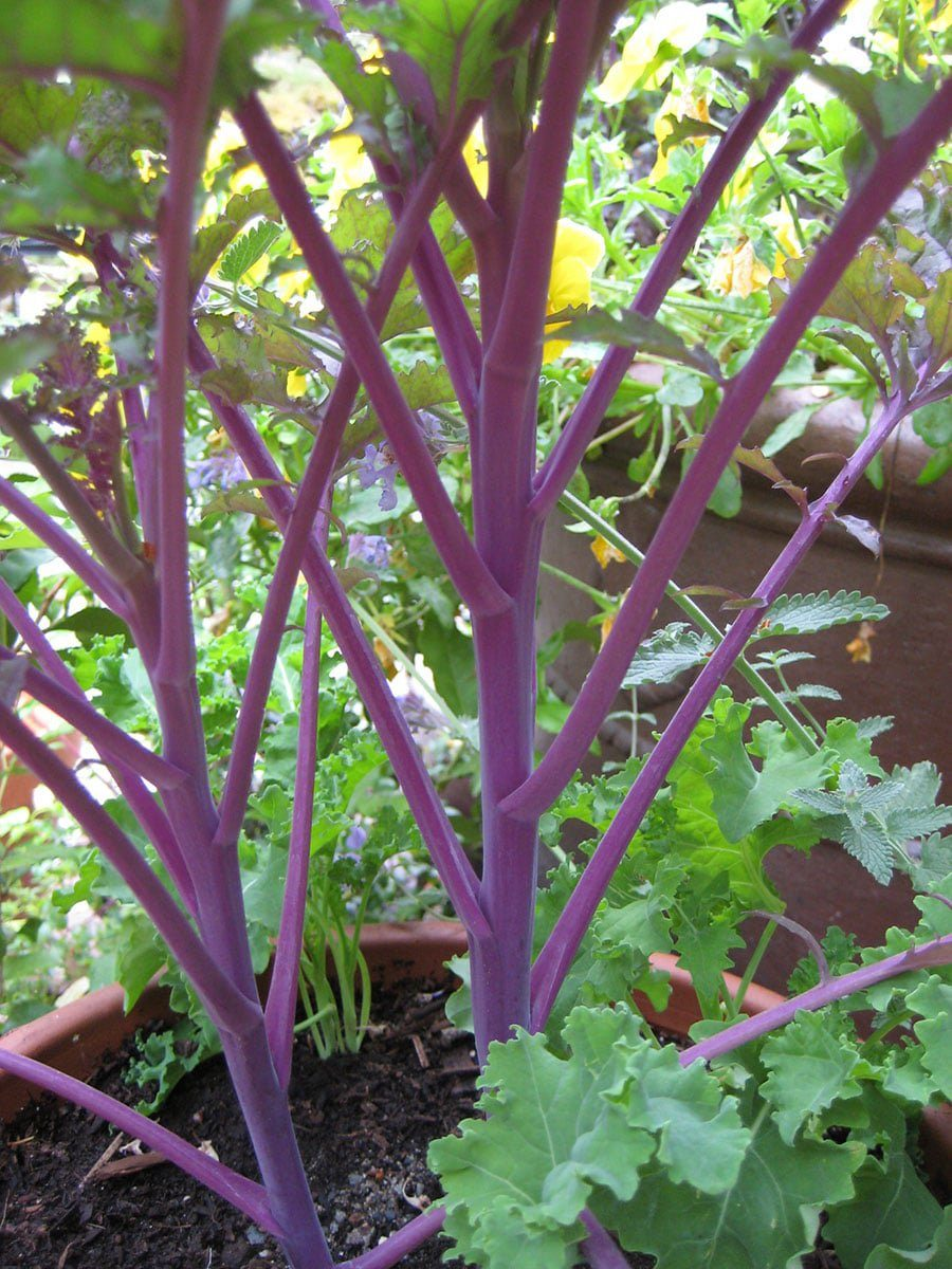 Red Russian kale is a prolific self seeder (Photo by Carol Pope)