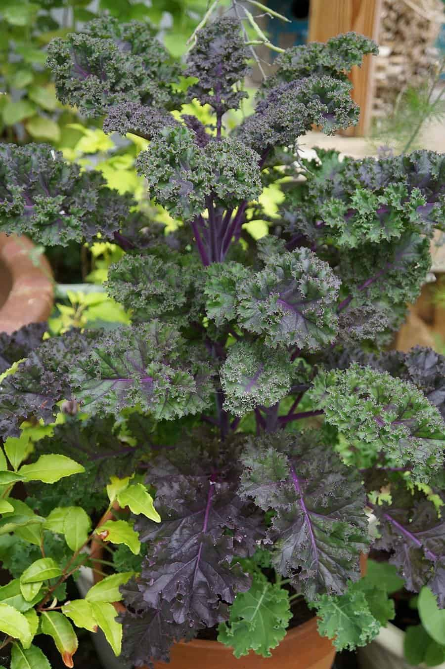 Redbor kale grows well in containers(Photo by Carol Pope)