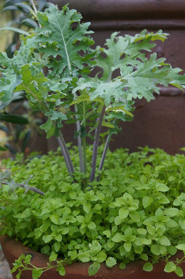 """Chickweed and 'Red Russian' kale as a """"thriller"""" plant."""