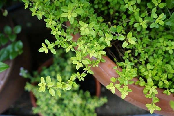 'Evergold' gold thyme is drought tolerant.
