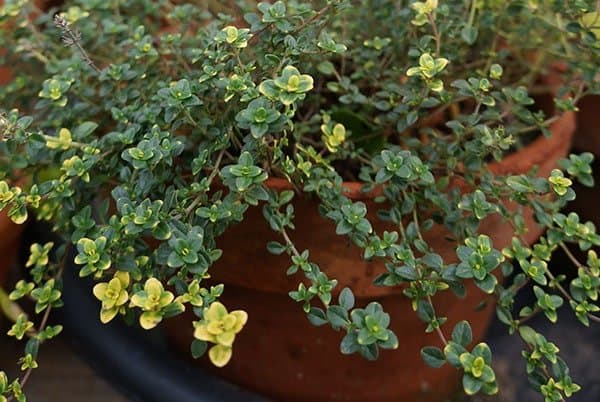 Lemon thyme, hardy to Zone 7, can be overwintered indoors.