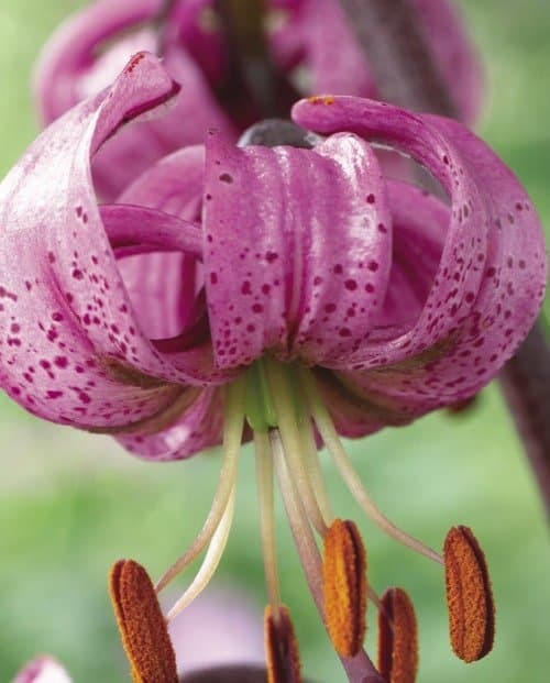 Martagon lily from Vesey's