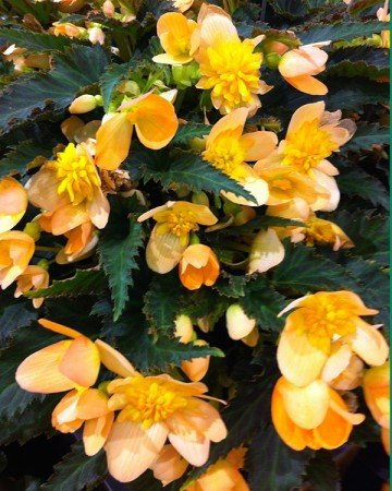 Lucky Strike begonia (Garden Making photo)
