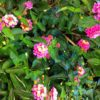 Bandana Landscape Pink lantana (Garden Making photo)