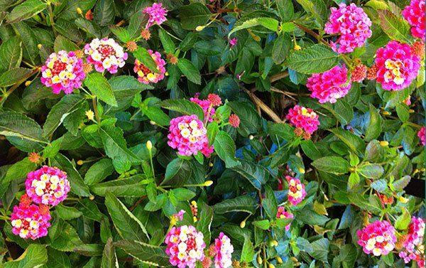 Bandana Landscape Pink lantana (Garden Making photo)