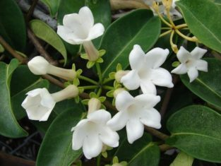 Stephanotis plants can be coaxed to rebloom. (Photo by Forest & Kim Starr [CC-BY-3.0], via Wikimedia Commons)