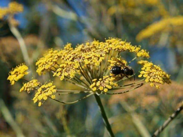 Fennel flowers attract pollinators.