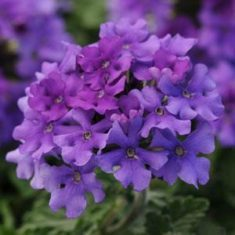 EnduraScape purple verbena (Photo from Ball Horticulture)