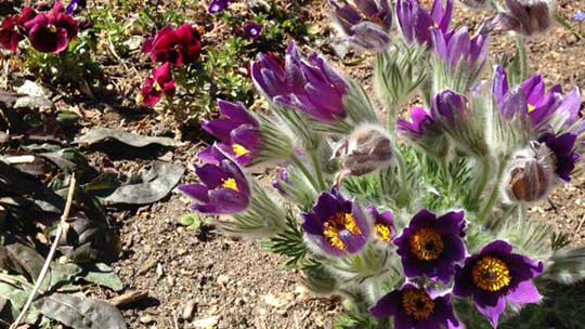 Pasque flower (Pulsatilla vulgaris) growing in the dry soil.