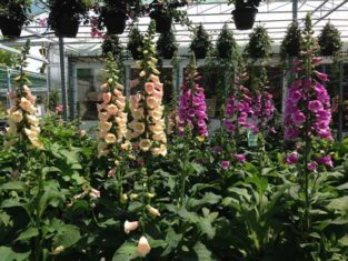 July can be a good time to shop for perennials,such as foxgloves, at reputable nurseries.