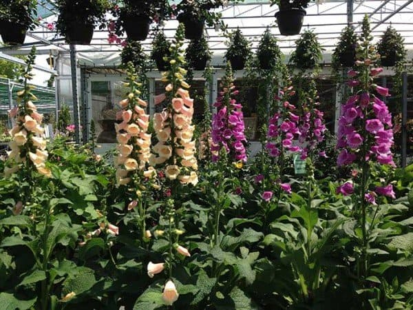 July can be a good time to shop for perennials, such as foxgloves, at reputable nurseries.