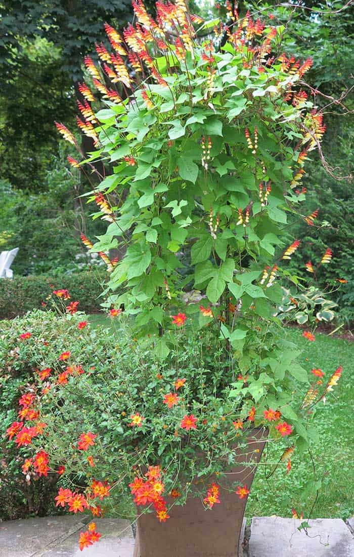 An annual vine in a container, such as Spanish flag, makes a great thriller plant.