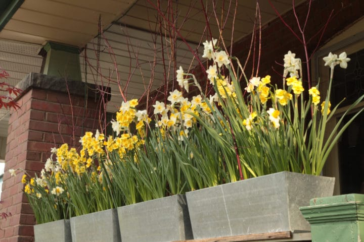 Forced spring bulbs in containers. (All photos by Dugald Cameron)