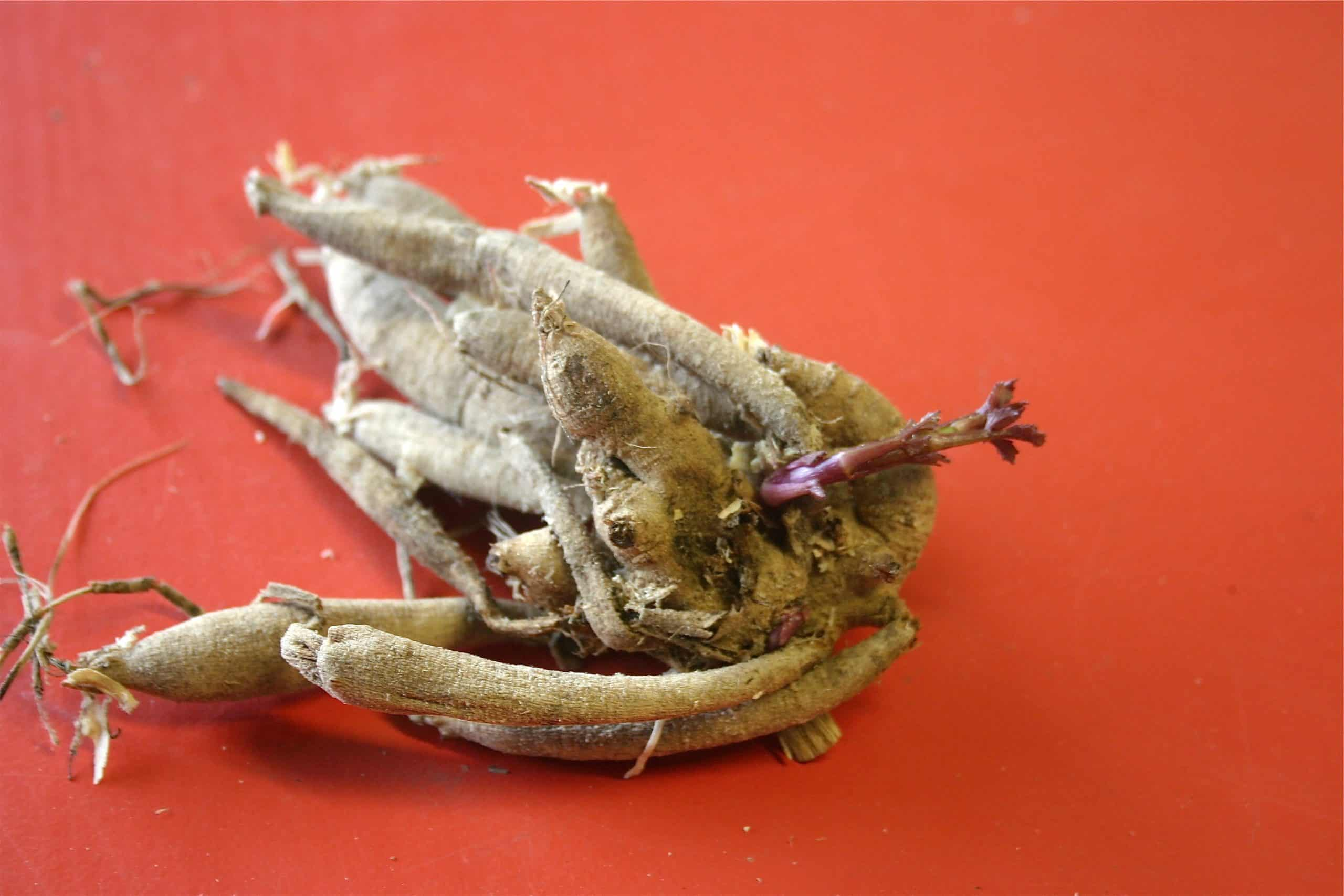 A whole Dahlia root in the spring