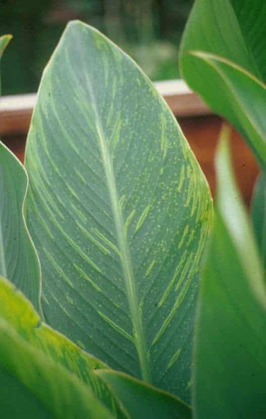Early signs of yellow streak virus on canna leaf.