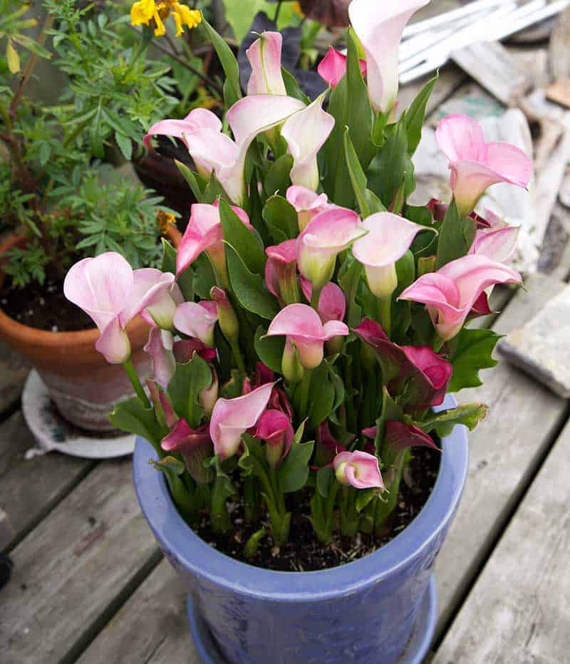 Mixed calla in container (Photo by Dugald Cameron)