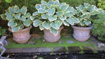 Hostas are easy to overwinter in containers.