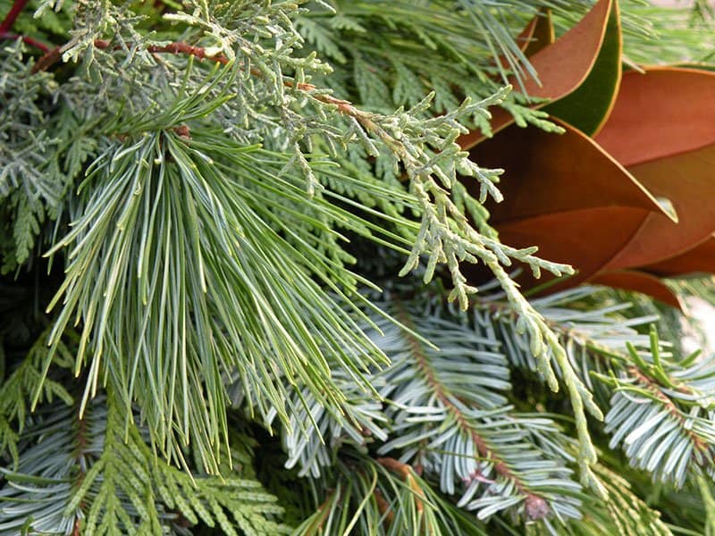 Mixed greenery for decorations can come from boughs cutin your own garden. (Photo by Joanne Young)