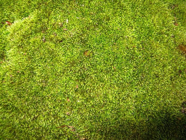 Moss (Bryophyta) growing in a nature reserve (Photo by Andrew Bossi via Creative Commons)