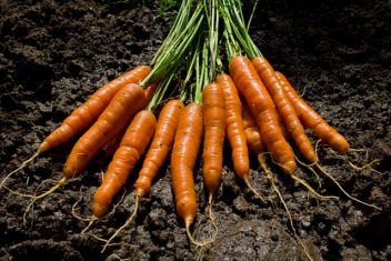 The garden delivers carrots. (Photo by woodleywonderworks [CC BY 2.0], via Wikimedia Commons)