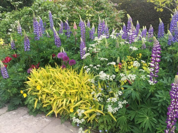 A deep border filled with rich, saturated colours of purple lupins and alliums, white Anthriscus sylvestris and a yellow variegated carex or sedge.