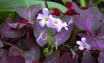 The purple shamrock (Oxalis regnelli) has dainty tubular flowers. (Photo by BS Thurner Hof via Wikimedia Commons)