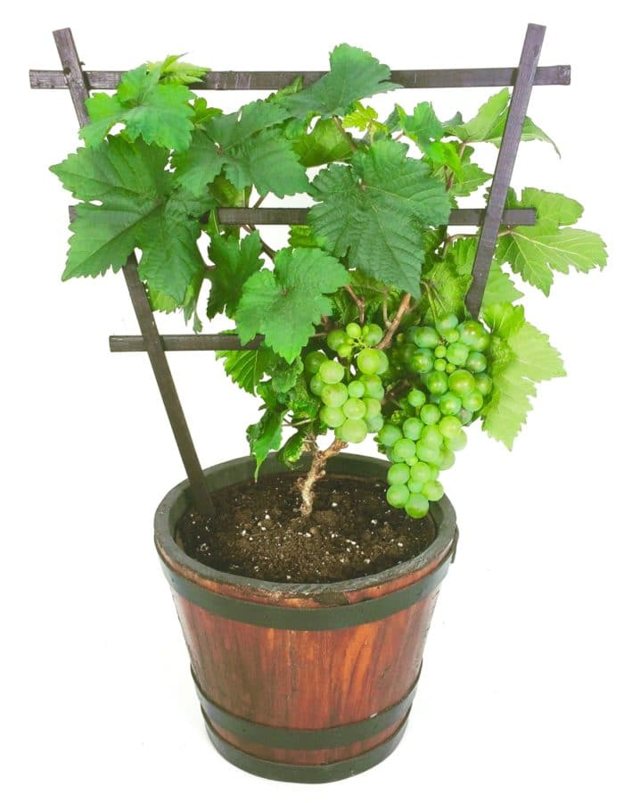 Pixie grapevine is tiny enough for a tabletop display. (Photo courtesy of Vineland Research and Innovation)